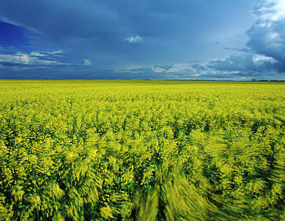 Photograph - Wind-blown Bloom Stage Canolarapeseed by Dave Reede