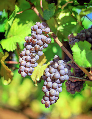 Photograph - Wine Grapes by Todd Klassy