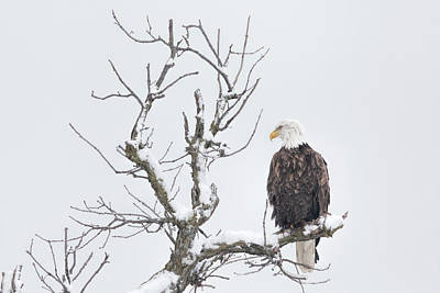 Palm Trees Rights Managed Images - Winter and Bald Eagle Royalty-Free Image by Scott Bean