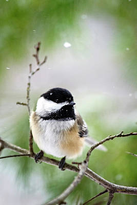 Photograph - Winter Black Capped Chickadee by Christina Rollo