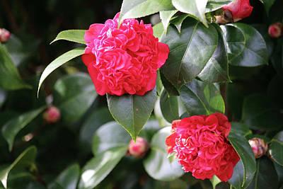 Photograph - Winter Camellia by Cynthia Guinn