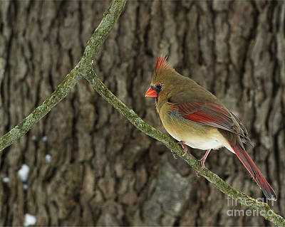 Photograph - Winter Cardinal by James Guilford