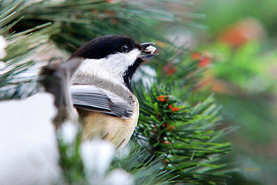 Photograph - Winter Chickadee With Seed by Christina Rollo