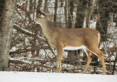 Photograph - Winter Doe by JAMART Photography