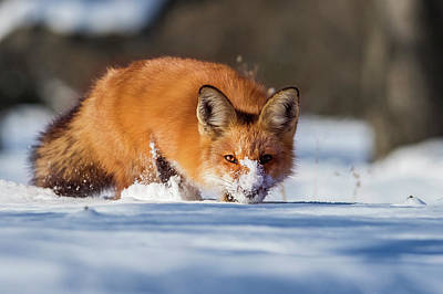 Photograph - Winter Fox by Mircea Costina Photography