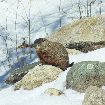 Photograph - Winter Groundhog by Amy E Fraser