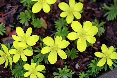 Mellow Yellow Rights Managed Images - Winter Hellebore Royalty-Free Image by Debbie Oppermann