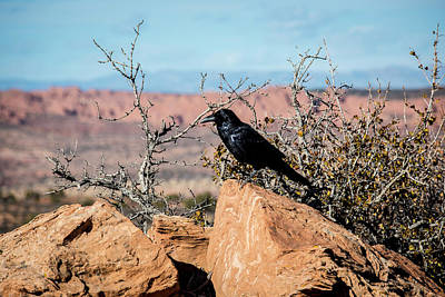 Photograph - Black Raven by David Morefield