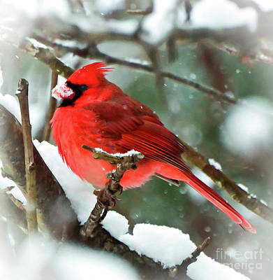Winter Red Bird - Male Northern Cardinal With A Snow Beak Art Print