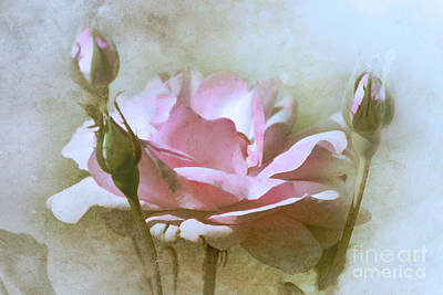 Photograph - Winter Rose  by Elaine Manley