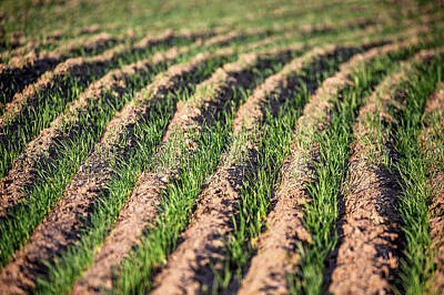 Photograph - Winter Wheat Sprouts by Todd Klassy