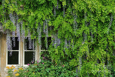 Photograph - Wisteria Flowering Around A Cotswold Cottage Window by Tim Gainey