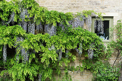 Photograph - Wisteria On A Cotswold Stone House by Tim Gainey