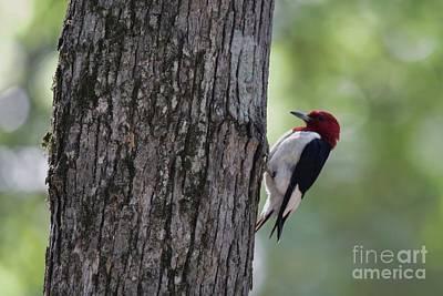 Wall Art - Photograph - Wodpecker Tree by Don Small Jr
