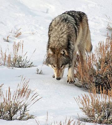 Photograph - Wolf by Gary Beeler