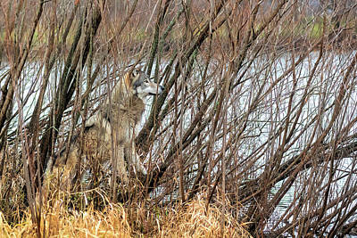 Photograph - Wolf In The Weeds Intently Looking Out by Dan Friend