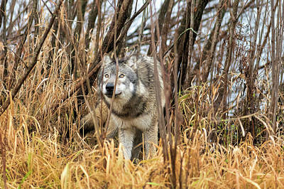 Photograph - Wolf Looking In The Brush Looking Up by Dan Friend