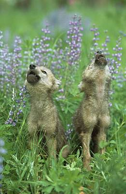 Wolf Puppies Howling In Meadow Art Print by Design Pics / David Ponton
