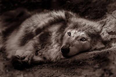 Photograph - Wolfe by Christine Sponchia