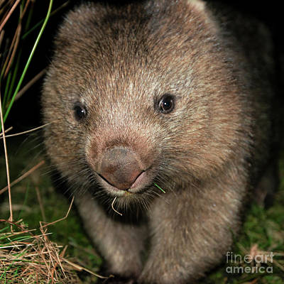 Photograph - Wombat At Night by Rob D