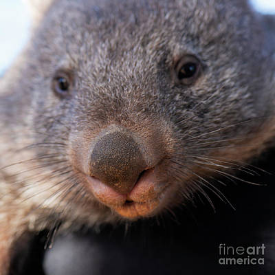 Photograph - Wombat Outside During The Day. by Rob D