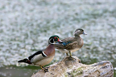 Frank Sinatra Rights Managed Images - Wood Duck Couple Royalty-Free Image by Judy Tomlinson
