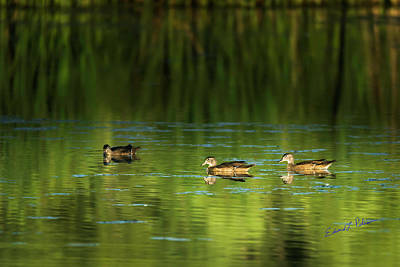 Photograph - Wood Duck Evening Swim by Edward Peterson