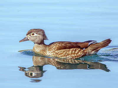 Photograph - Wood Duck Female 0457-111618-1cr by Tam Ryan