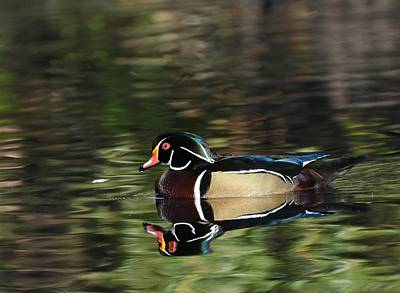 Photograph - Wood Duck In Autumn by Fraida Gutovich