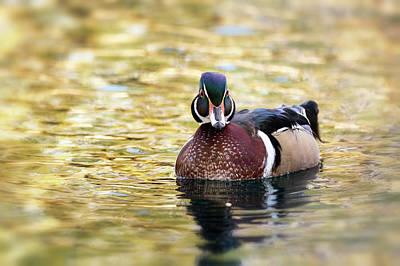 Photograph - Wood Duck On Golden Pond  by Saija Lehtonen