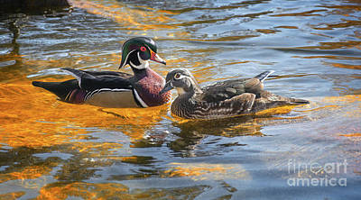 Photograph - Wood Duck Pair by Susan Warren