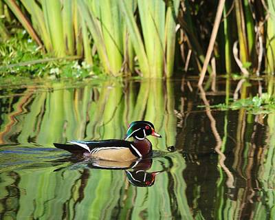 Photograph - Wood Duck Reflection 1 by Todd Kreuter