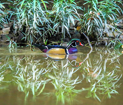 Photograph - Wood Duck Reflection by Dan Sproul