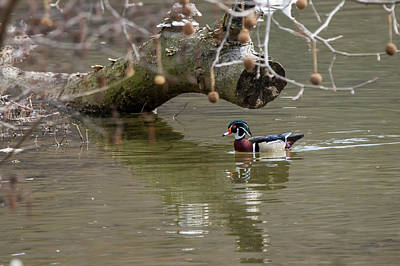 Photograph - Wood Duck Swimming Under Log by Dan Friend
