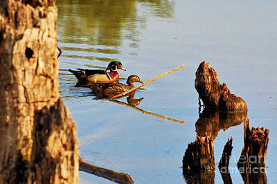 Art Print featuring the photograph Wood Ducks by Debbie Stahre