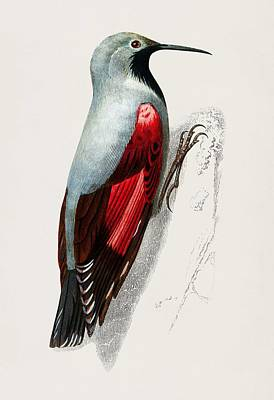 Painting - Wood Nuthatch Sitta Europia Wood Nuthatch Illustrated By Charles Dessalines D Orbigny  1806 1876  by Celestial Images
