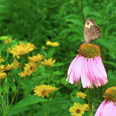 Photograph - Wood Nymph And Echinacea 1 by Amy E Fraser