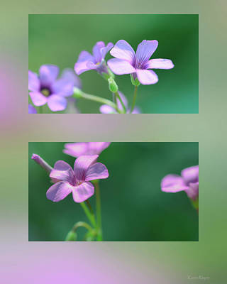 Photograph - Wood Sorrel by Karen Rispin