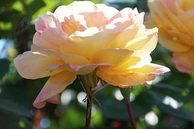 Photograph - Woodlake Peace Rose by Marsha Ingrao