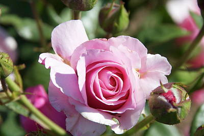 Photograph - Woodlake Pink Rose by Marsha Ingrao