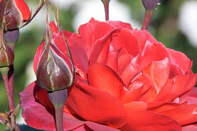 Photograph - Woodlake Red Rose by Marsha Ingrao
