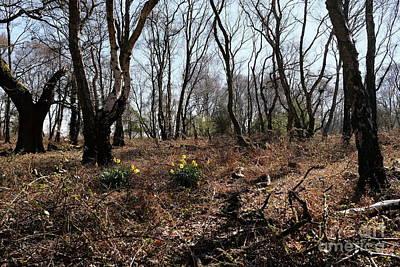 Woodland Daffodils 2 Original