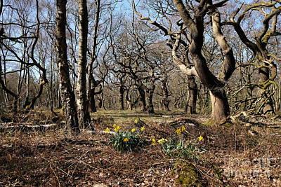 Woodland Daffodils Original