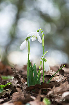 Snowdrops Wall Art - Photograph - Woodland Snowdrops by Tim Gainey