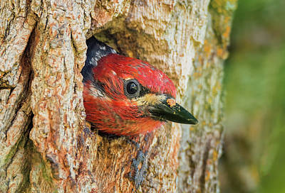 Photograph - Woodpecker Nest by Loree Johnson