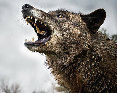 Photograph - Woof Wolf by Laura Hedien