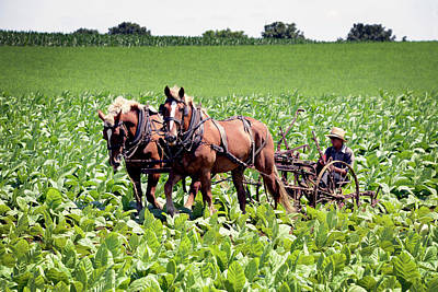 Photograph - Working On An Amish Tobacco Farm by Paul W Faust - Impressions of Light