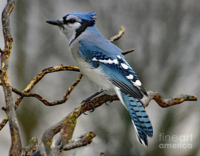 Moody Trees Rights Managed Images - Works For Peanuts - Blue Jay Royalty-Free Image by Cindy Treger