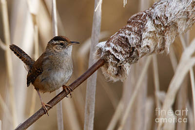 Photograph - Wren On Bulrush Stem by Sue Harper