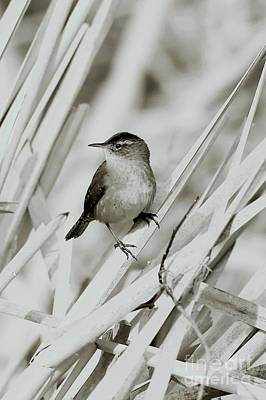 Photograph - Wren On Its Perch by Sue Harper